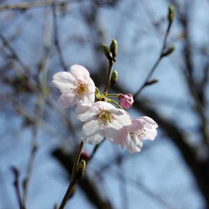 Sakura2017new